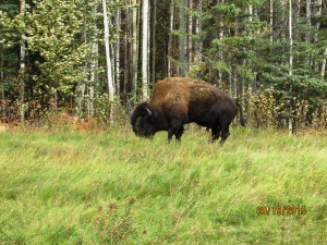 Bison in British Columbia