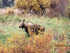 Female Moose in Alaska